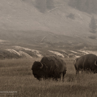 Yellowstone Bison 2