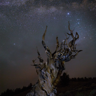 Ancient Bristlecone Pine Milky Way