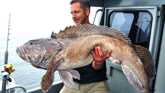 Giant lling cod.jpg