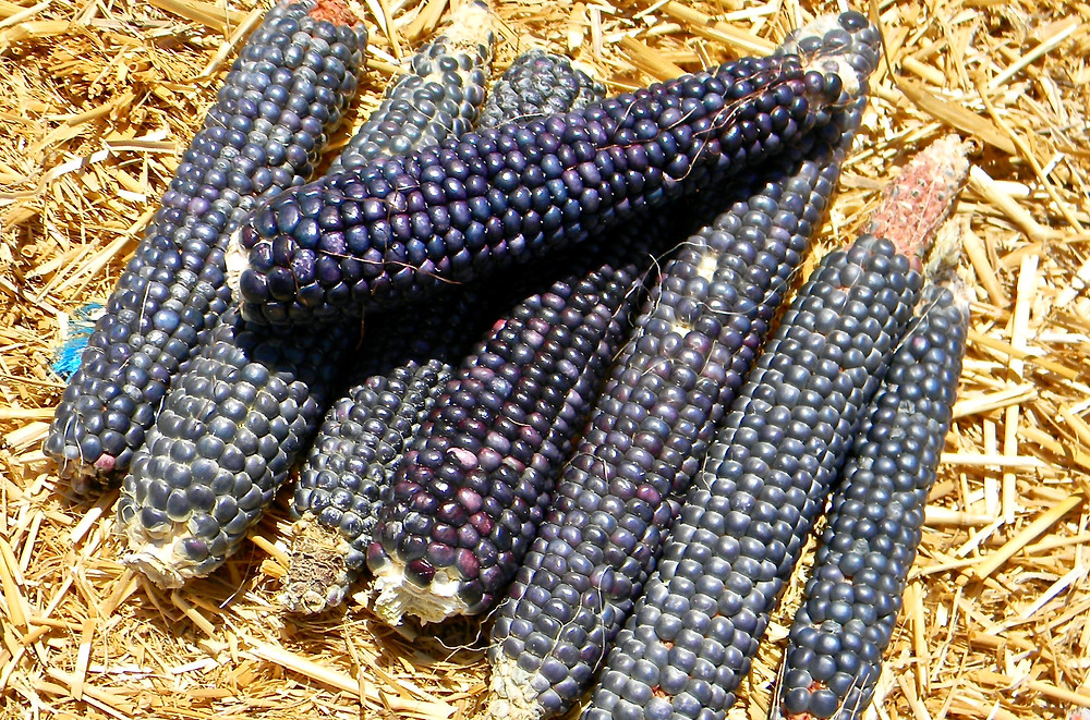 Yeome blue corn grown at the Crazy Chile Farm