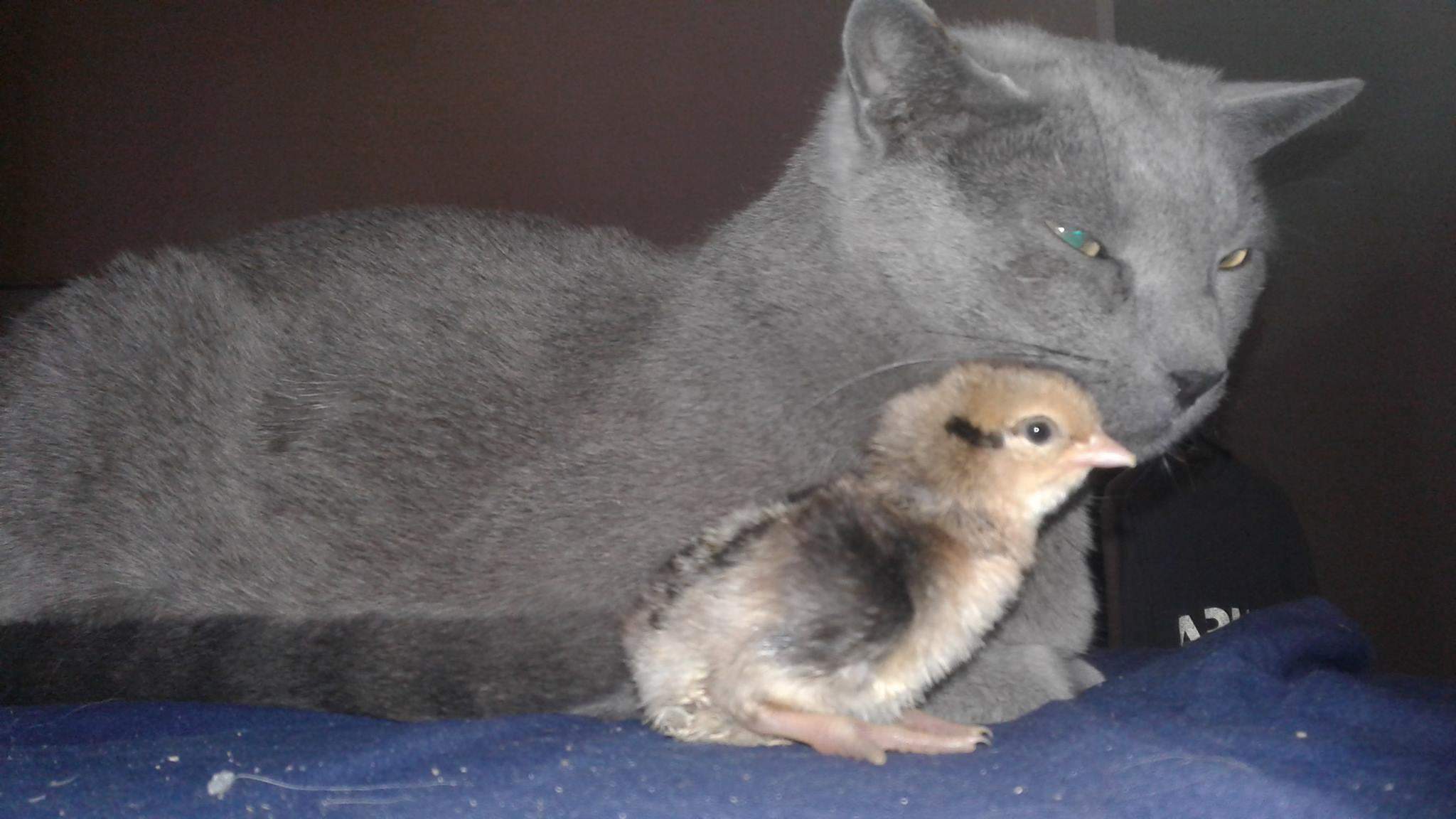Mohawk with chick