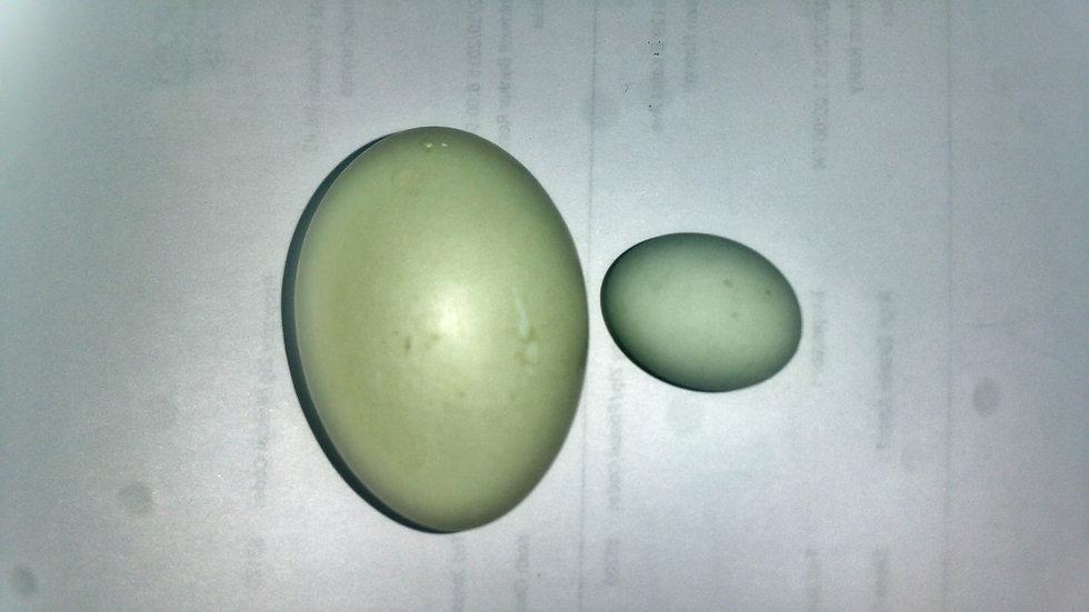 Duck Eggs (Jumbo)