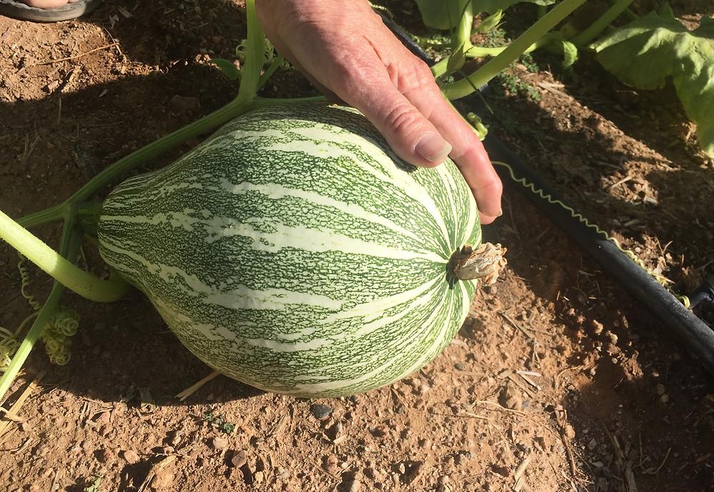 Ha:l squash grown at the Crazy Chile Farm