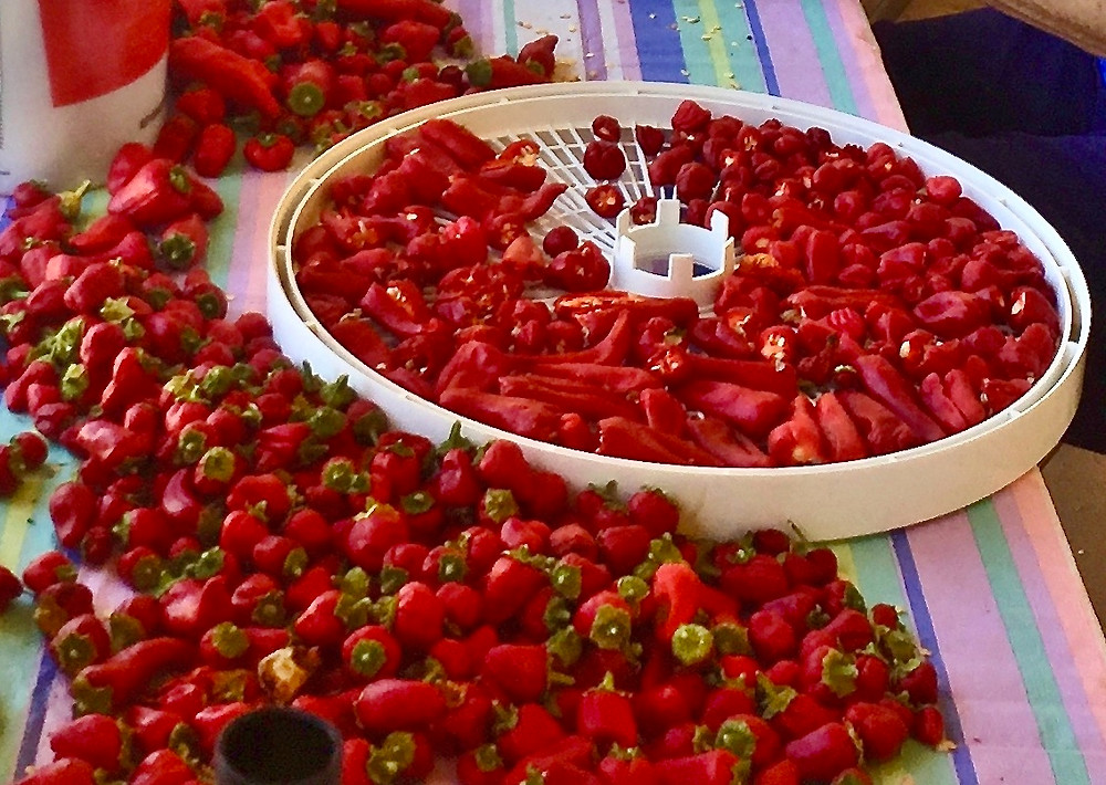 Placing hot peppers on dehydrator tray