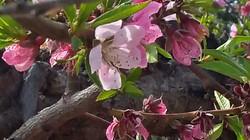 Peach Blossom 2015-02-14 Schnepf Farms