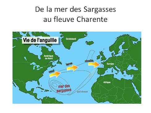 De la mer des Sargasses au fleuve Charente, la migration des anguilles