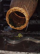 anguille sortant du bourgnon à Saint-simeux charente