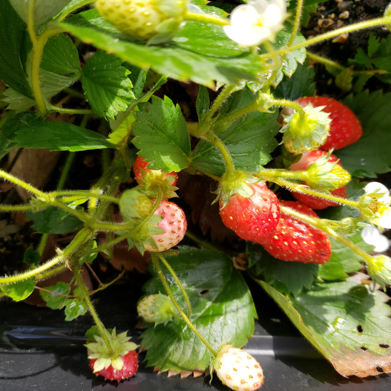 Late Aug Strawberries