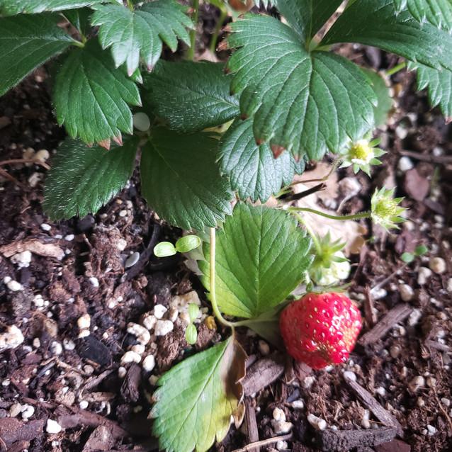 maturing strawberry