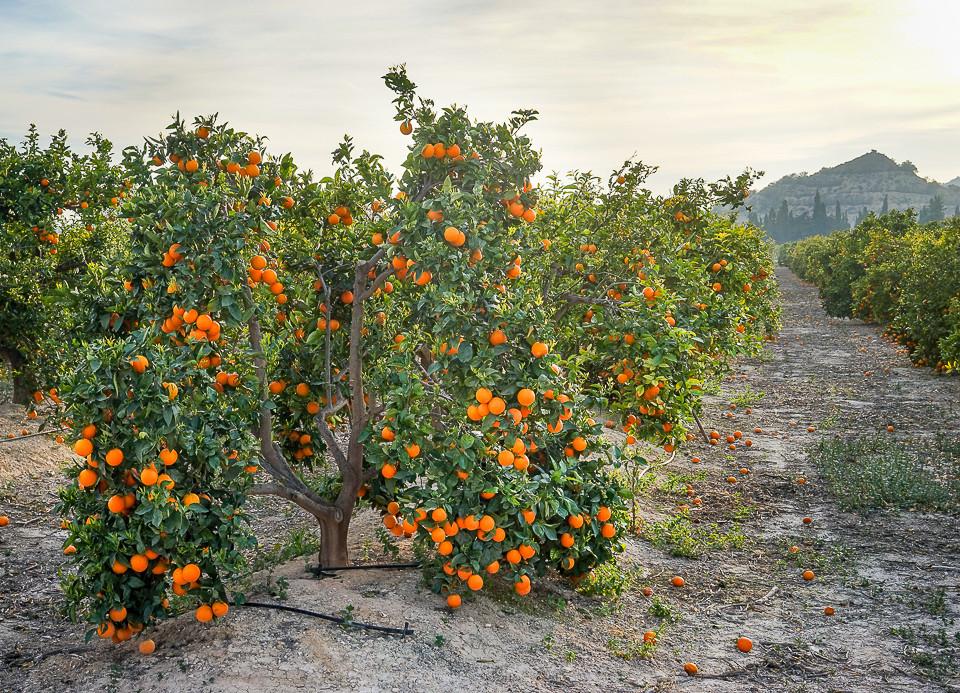 Appelsintre i en av appelsinfarmene i Villajoyosa i Spanina