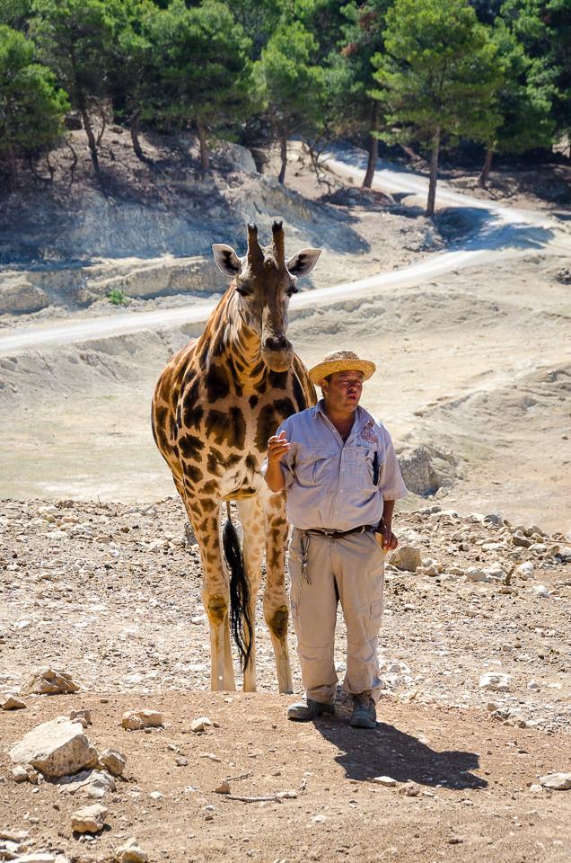 En giraff med dyrepasser i Aitana Safari i Spania