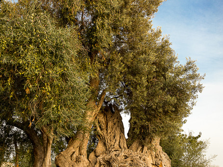 Villajoyosa - The orange road and the old olive tree