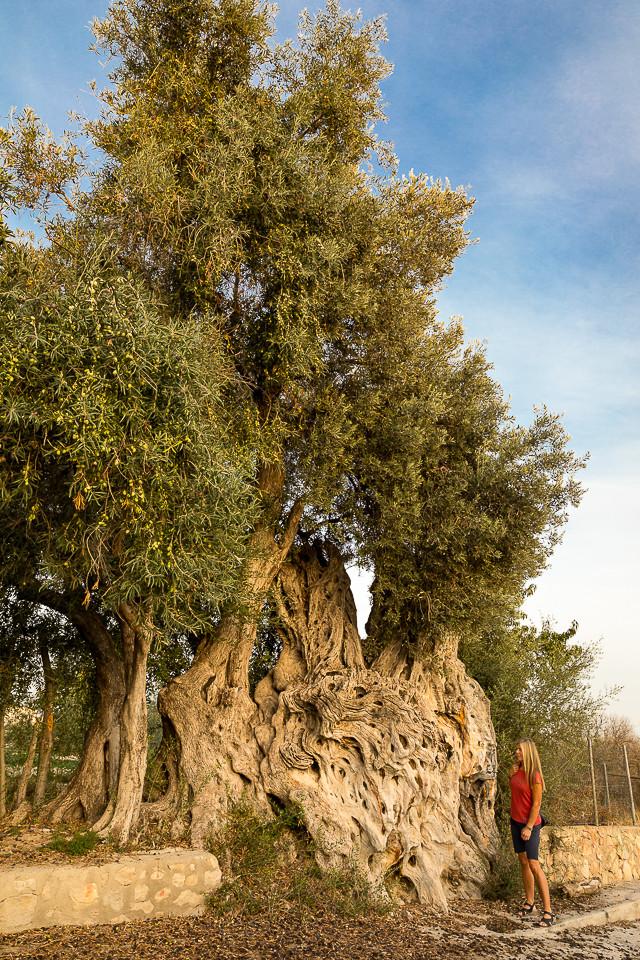 Tre tusen år gammelt oliventre i utkanten av Villajoyosa