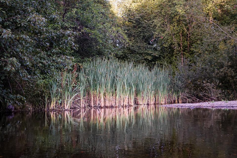 Siv langs elvebredden av Lysakerelven