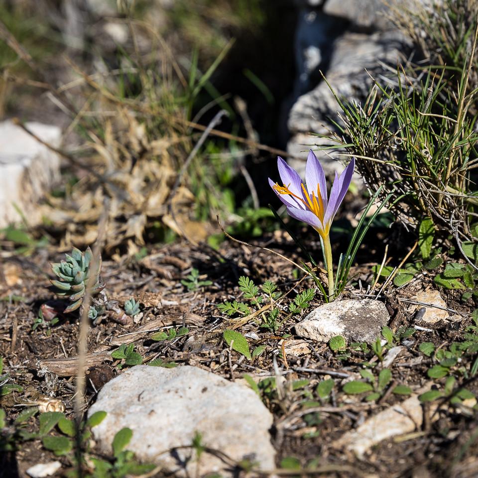 Safrankrokus i blomst