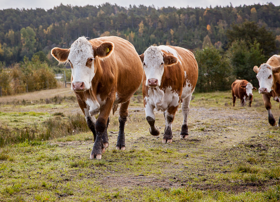 Nysgjerrige kyr vil hilse på besøkende ved Strømsvannet i Sverige