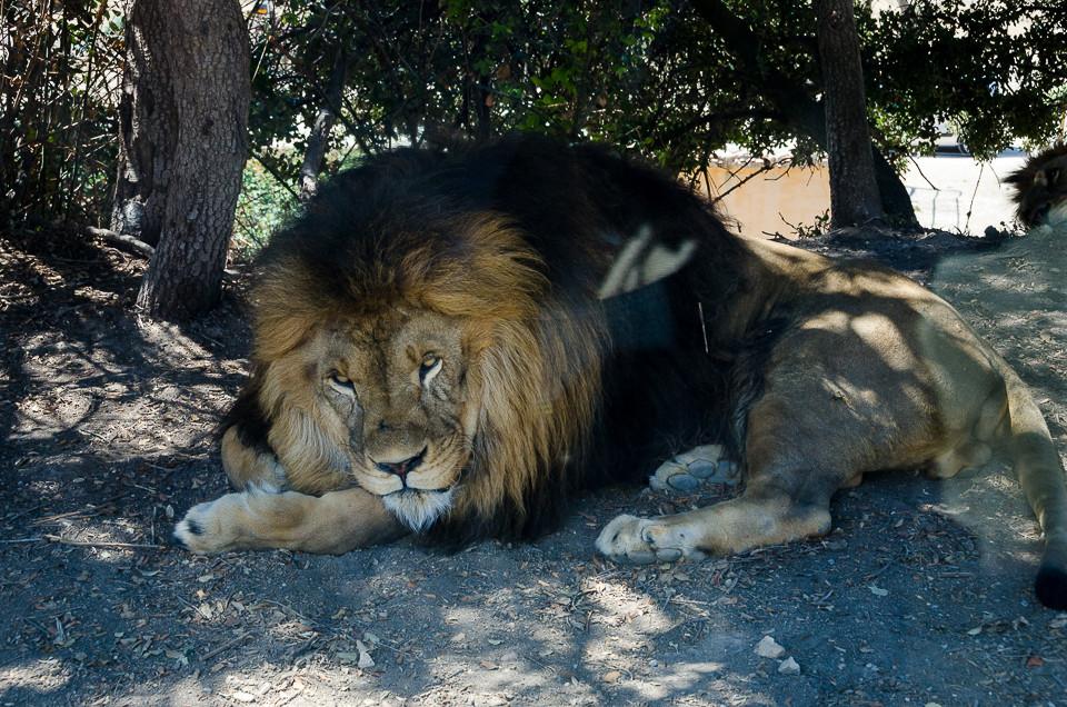 Hannløve som har søkt skygge mot sola i Aitana Safari i Spania