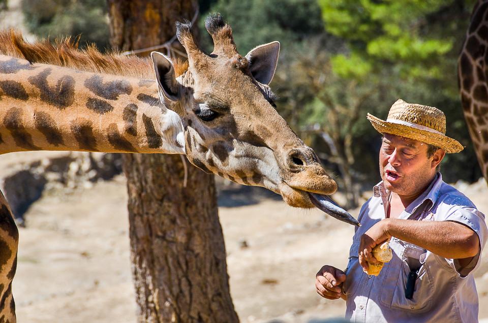 Giraff som viser frem tungen i Aitana Safari i Spania