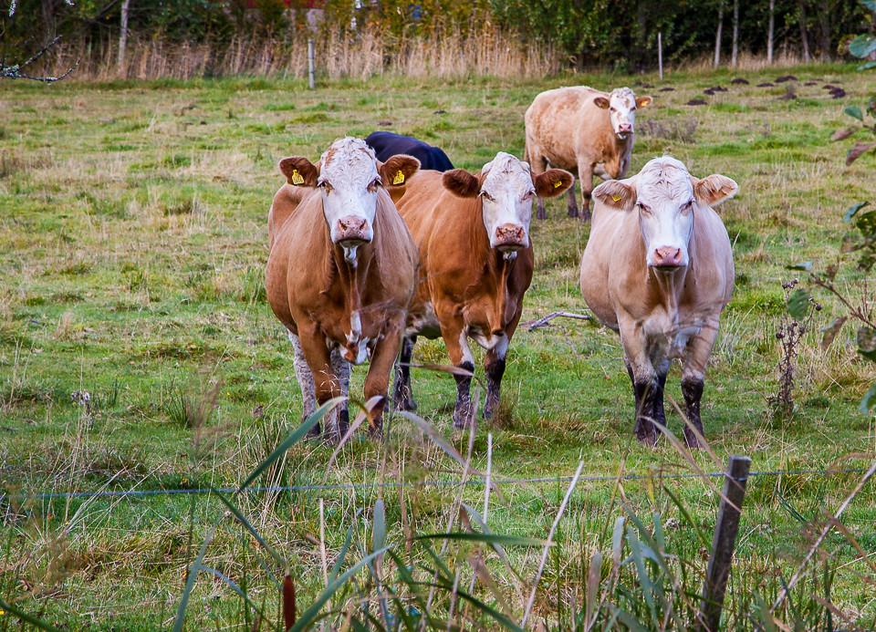 Kyr som betrakter besøkende ved Strømsvannet