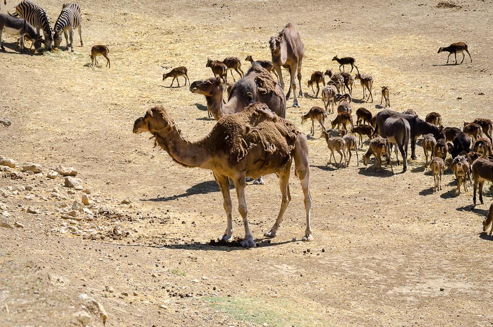 Flokker av sebraer og kameler i Aitana Safari i Spania