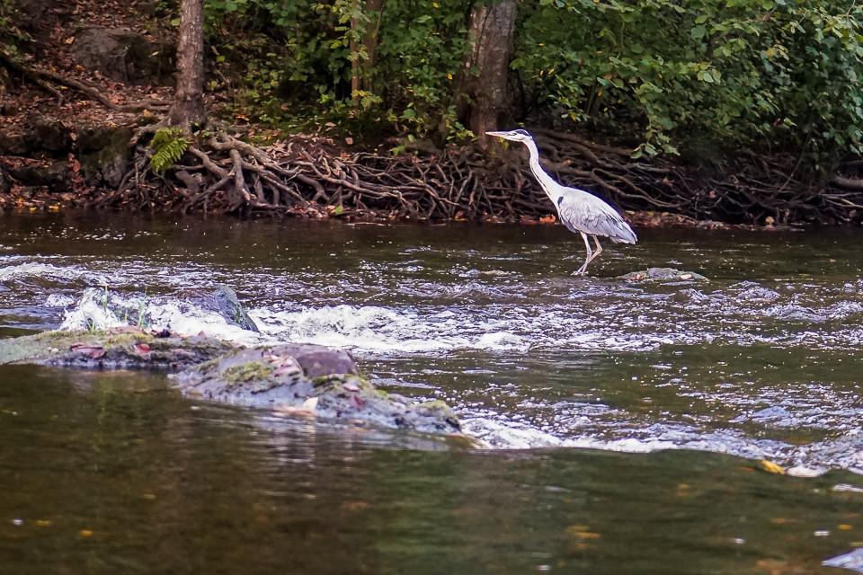 Hegre på jakt etter fisk i Lysakerelven