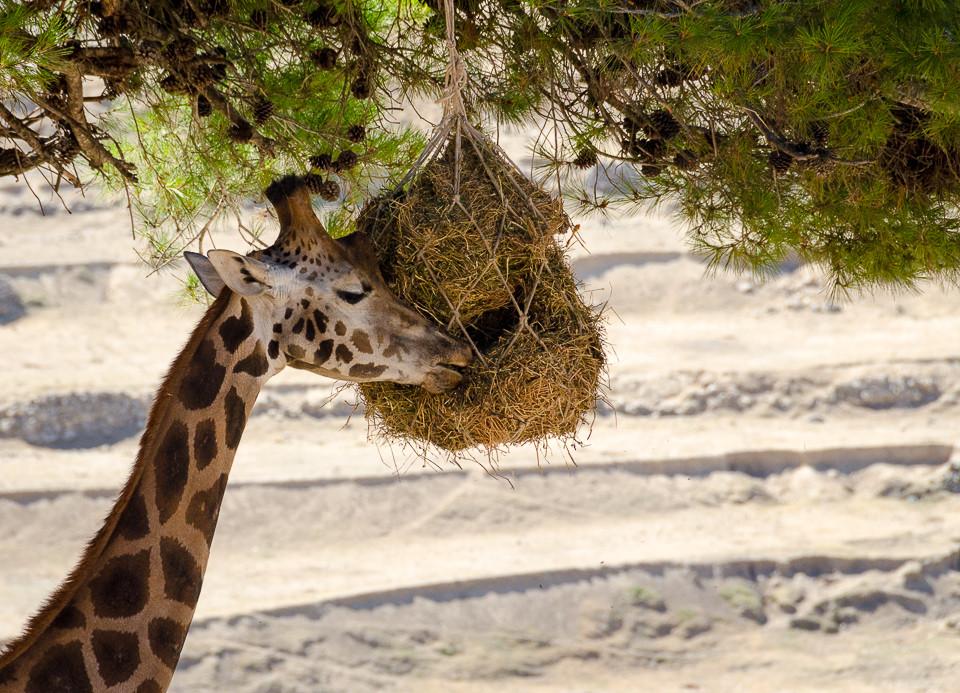 Giraff som spiser fra mat som er hengt ut til dem i et tre i Aitana Safari i Spania