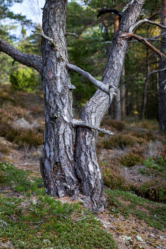 Forelskede trær i skogen ved Bjørnerødpiggen