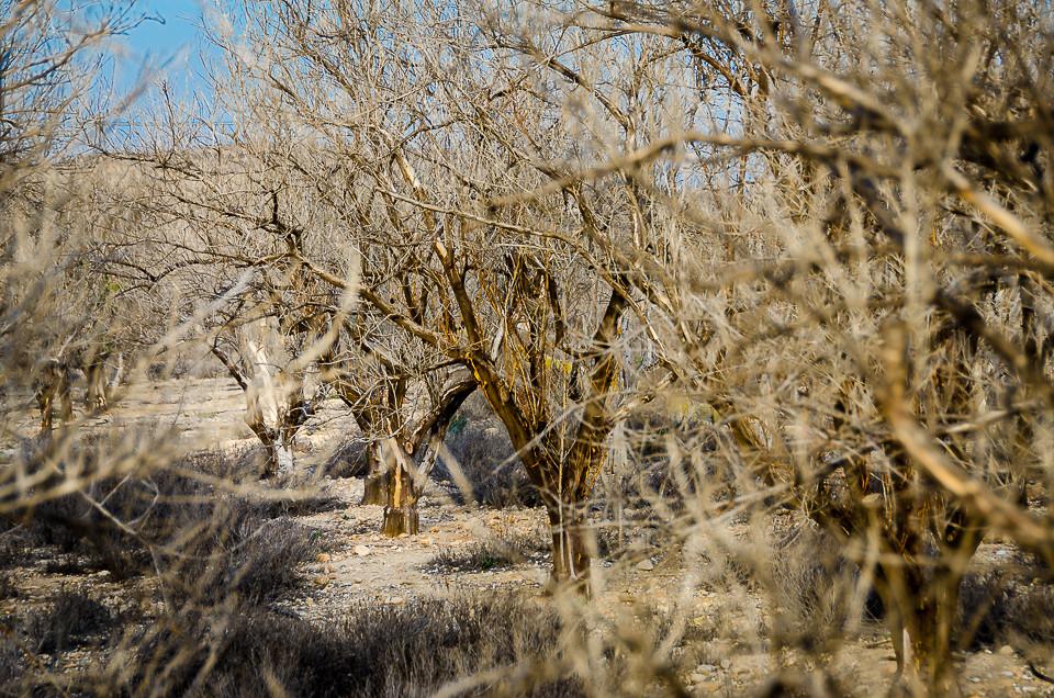 Døde trær i nedlagt appelsinplantasje