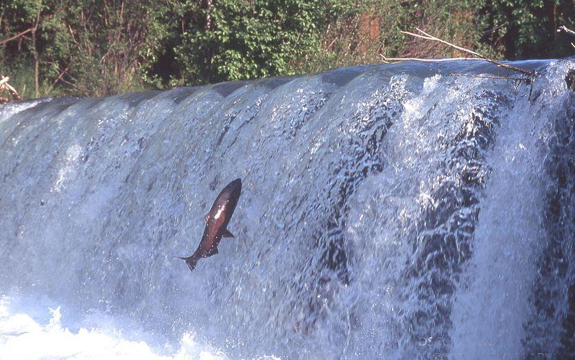 Remontée du saumon dans l'Adour. © Wikimedia commons