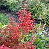 nandina berries.png