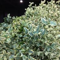 Fresh Oregonia 2