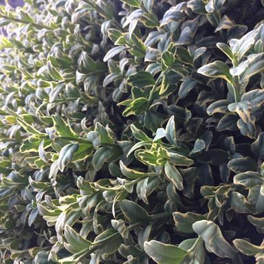 Fresh Oregonia 1
