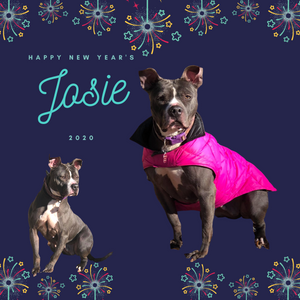 blue nose pit bull with sweater saying happy new year's adoptable cancer free