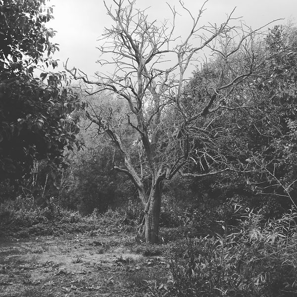 black and white image of the hawthorn.JP