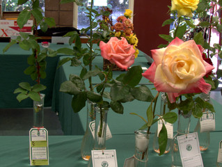 Setting Up Our Monthly Rose Show -- September 2014