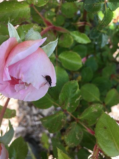 weevil on rose.JPG