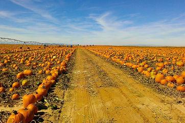 PumpkinFarm_edited.jpg