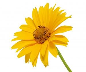 yello daisy