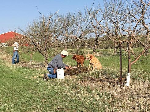 Planting apple tree.jpg