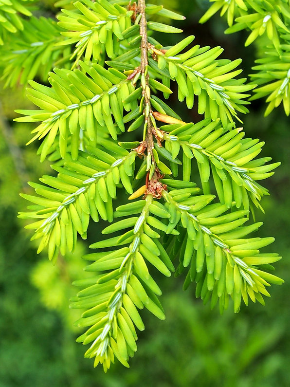 fir-tree-3691334_1920.jpg