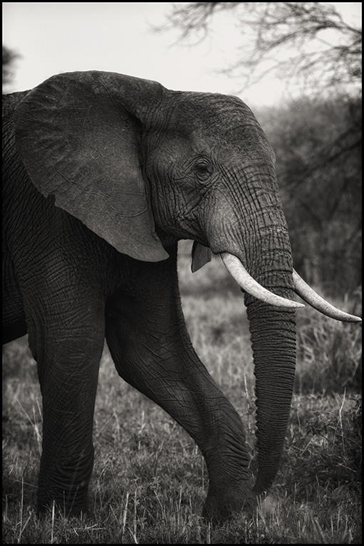 elephantprofile