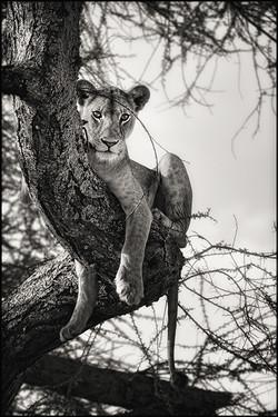 lionesstree