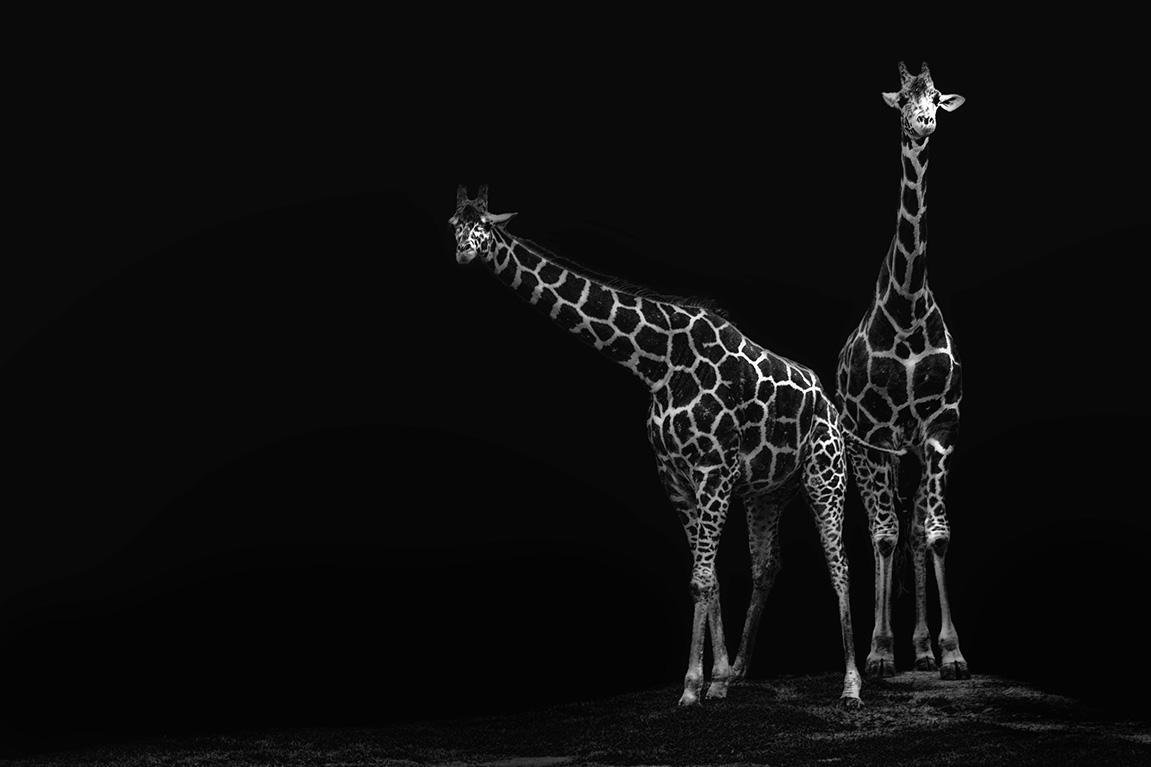 giraffeduo