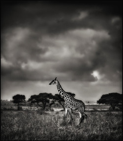 giraffewalking