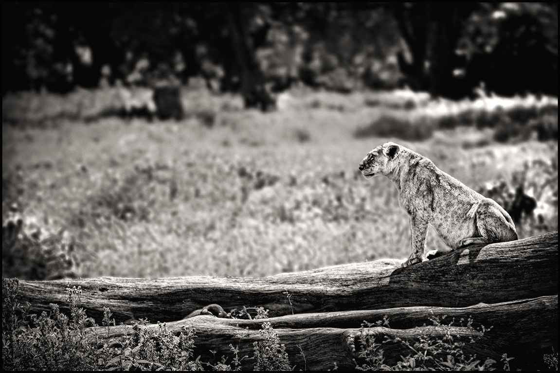 lionesslog
