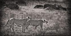 cheetahduo