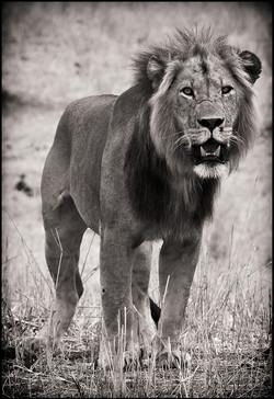 lionportrait