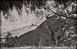 lionesscubs