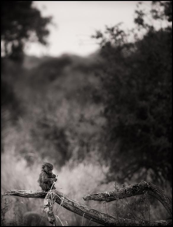 baboonbaby