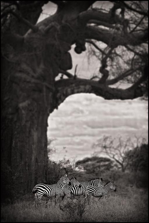 zebraunderbaobab